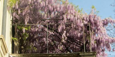 Какую цветущую лиану лучше всего посадить на солнечном балконе?
