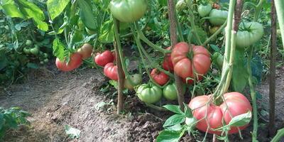 Как добиться «помидорного» вкуса?