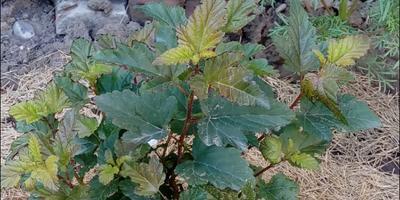 Стали сохнуть края листьев пузыреплодника. Что делать?