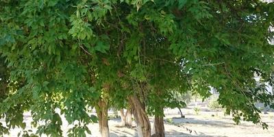 Подскажите, пожалуйста, что это за дерево?