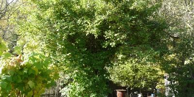 Как омолодить старый жасмин (дерево)?