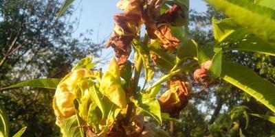 На персике стали заворачиваться листья, чернеют и сохнут. Что предпринять?