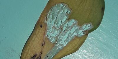 Помогите определить вредителя фаленопсиса. Как с ним бороться?