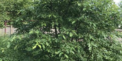 Что это за кустарник или дерево?