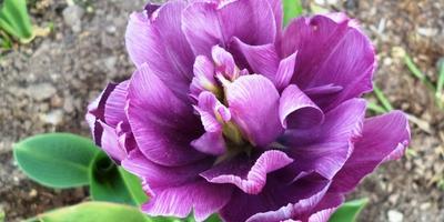 Почему тюльпан изменил цвет?