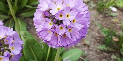 Подскажите, как называются эти цветы? Увидела сегодня в одном из дворов Питера...