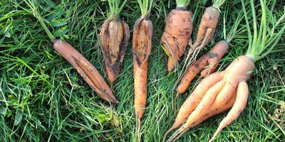 Почему морковка выросла такая уродливая?