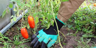 Тестируем перчатки с когтями Garden Genie Gloves. Рыхлим и пропалываем в теплице