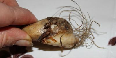 Кандык, тюльпаны и прочие луковичные в плохом состоянии. Как с ними поступить?