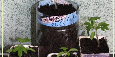 Томат Любушка F1. III этап. Развитие растений и уход за ними. Пикировка