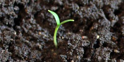 Баклажан Мишутка. II этап. Всходы. Появление настоящих листьев первого посева