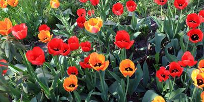Как продлить цветение тюльпанов?