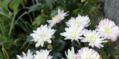 Как правильно рассадить хризантемы из горшка?