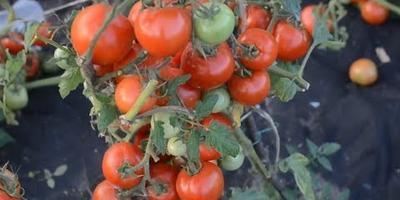 Любаша в Тверской области (собираю урожай)