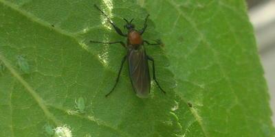 Что за насекомое на сливе и огурцах?