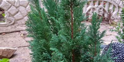 Что это за растение и как его размножить?