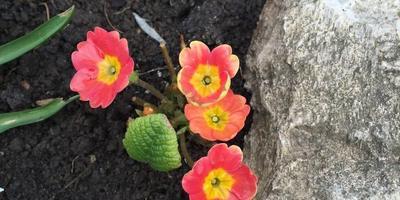 Весна, первый урожай и сладкие треугольнички с щавелем :)