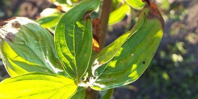 Почему сохнут листья у молодого кизила?