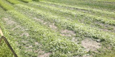Наш летний огород)))...Овощная эпопея)