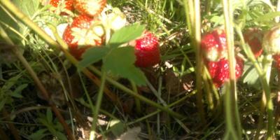 Наш летний огород... Ягодный микс