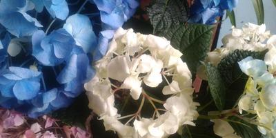 Подарили цветок (гортензию) неделю назад, но начали вянуть цветы. Что это может быть?