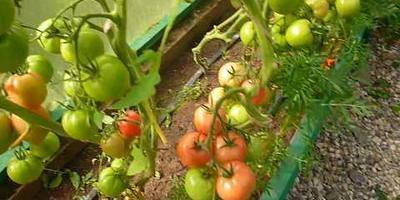 Вот такие мы вырастили томаты от Компании Партнер