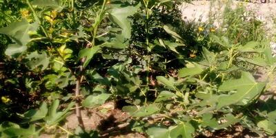 Инжир Чапла - подарок юга