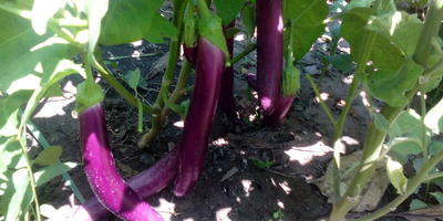 """Баклажан """"Дон Кихот"""" - рыцарь урожайного образа в моём огороде"""