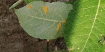 На иве карпея Пендула появились желтые яйца. Что это и как бороться?