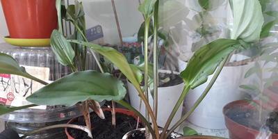 Подскажите, пожалуйста, что это за комнатное растение?