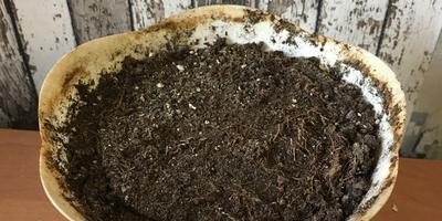 Может ли гортензия вырасти из корня?
