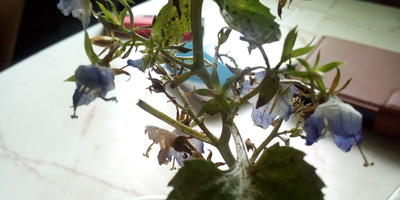 Помогите вылечить комнатное растение