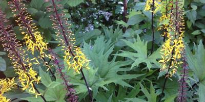 Что за садовый цветок с желтыми султанчиками?