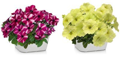 Суперкомпактные петунии Джолли - украшение вашего цветника