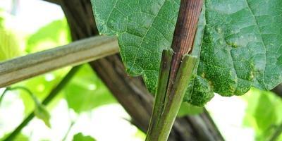 Всё о виноградной лозе - королеве сада...