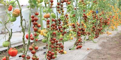 5 новых сортов от агрофирмы Гавриш: томаты, заслуживающие вашего внимания