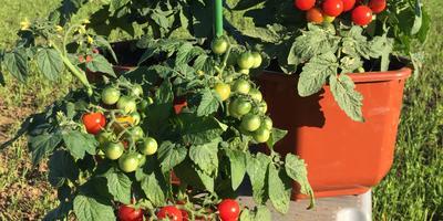 Черри-томат 'Каменный цветок F1'. Ростом мал, да вкусом удал