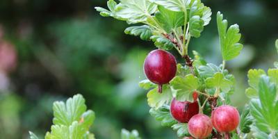 Тонкости ухода за ягодными кустарниками осенью