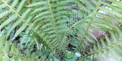 Что за листья появились у папоротника из середины розетки?