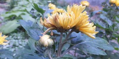 Помогите вылечить хризантему