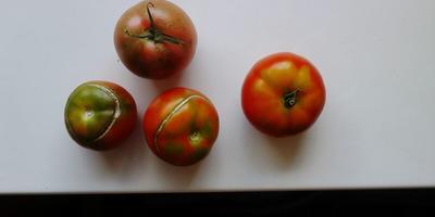 Нужен совет по выращиванию помидоров без полива