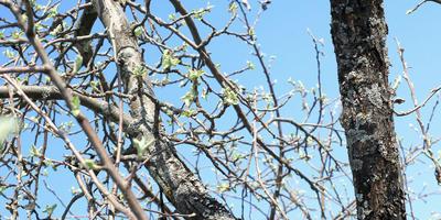 Лечение старой яблони (дереву 20 лет)