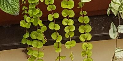 Подскажите, как называется ампельное растение (на фото в центре)?