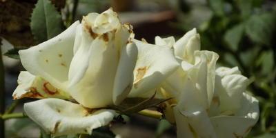 Помогите определить заболевание розы