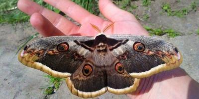 Самая большая бабочка в Европе - находка в нашем саду