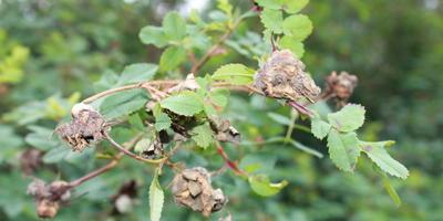 Беда с дикой розой. На листьях появились пятна, плоды сгнили. Что делать?