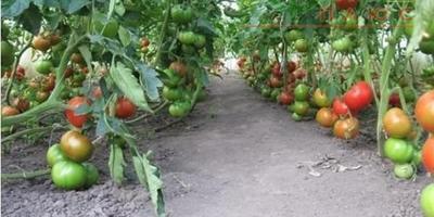 Поделитесь опытом выращивания томатов сорта Президент, Президент 2. Чем они отличаются?