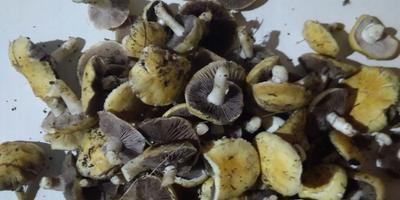 Подскажите, как называются эти грибы?