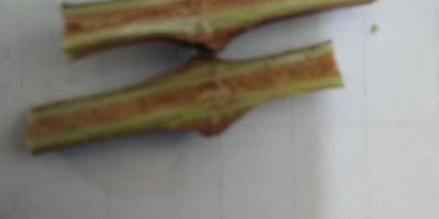 Вздутия на лозе винограда. Что это может быть?