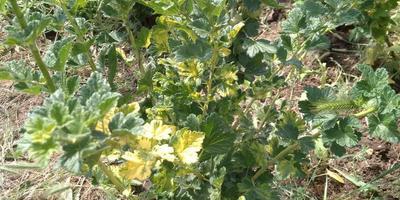 Желтеют листья крыжовника. В чем причина?